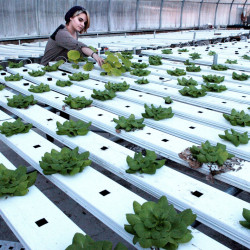 Maine Academy of Natural Sciences student Laykenn Kurtzer works Wednesday in one of the Fairfield school greenhouses where produce is grown to later be consumed at the school.