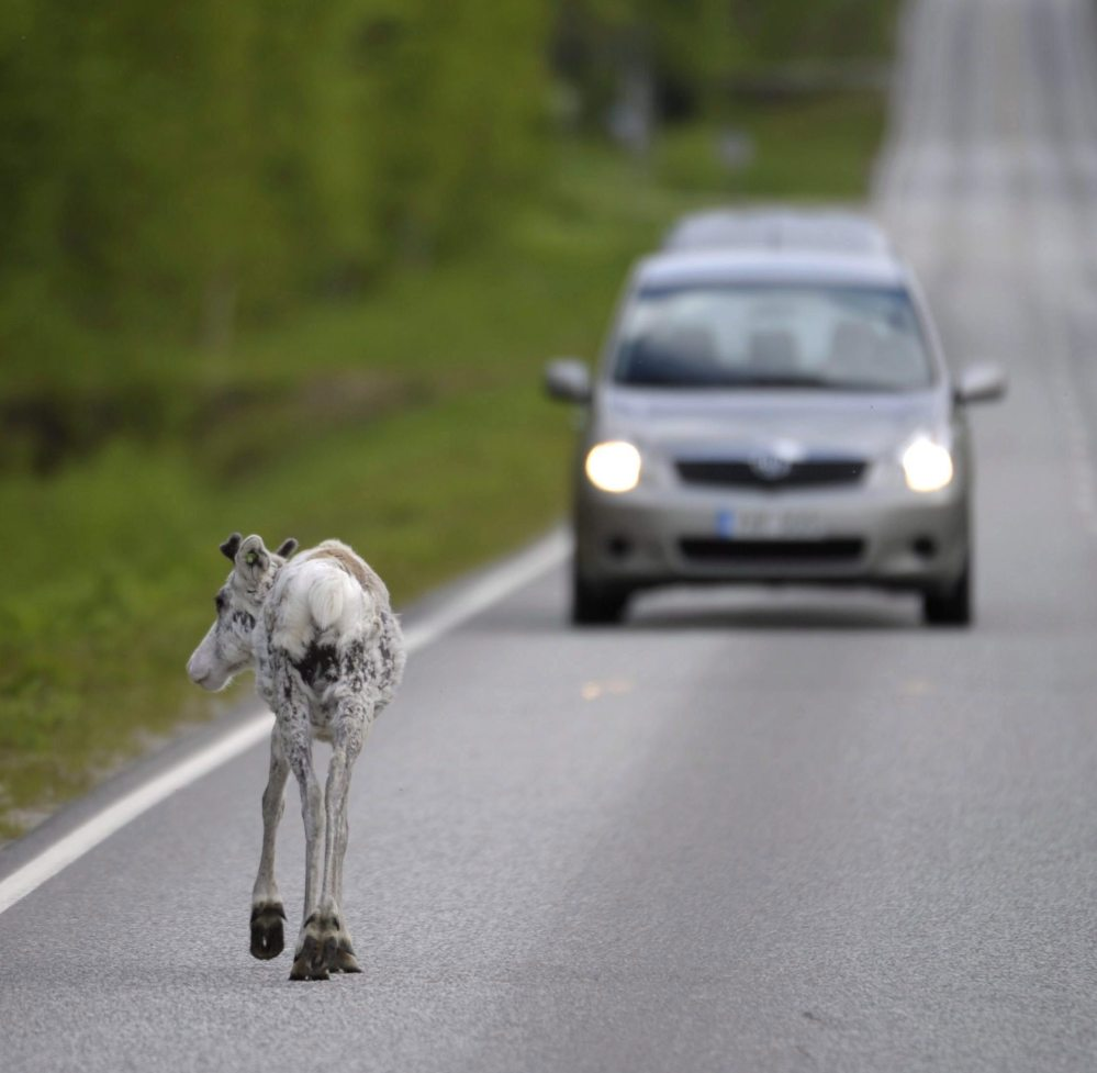 A reindeer walks on the road, in Ranua, Finland. There's good news for Rudolph and friends – an app is helping reduce the number of reindeer killed in traffic accidents.