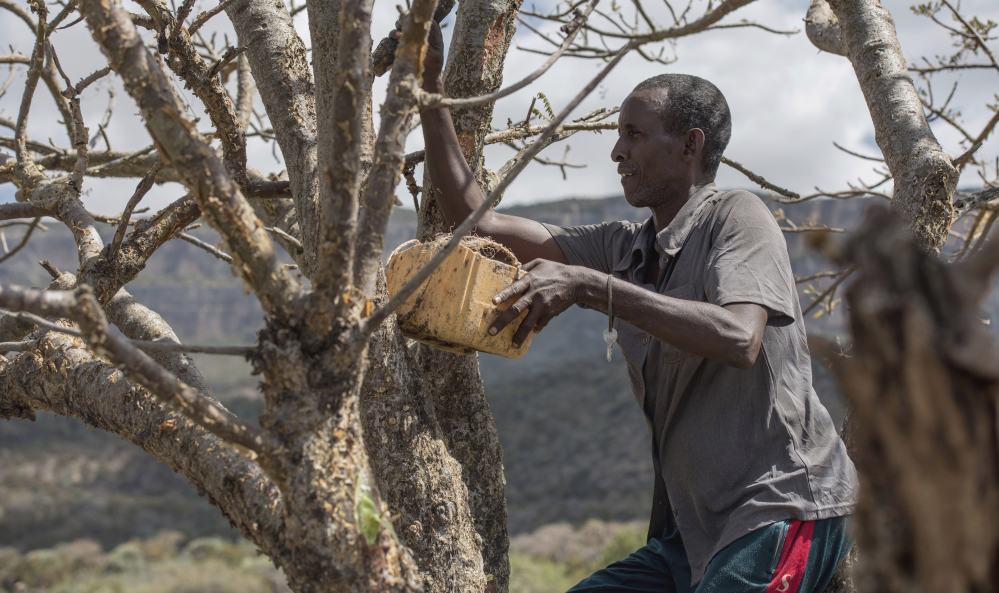 Mohamed Ahmed Ali wounds a frankincense tree near Mader Moge, a breakaway region of Somalia.  Associated Press photos