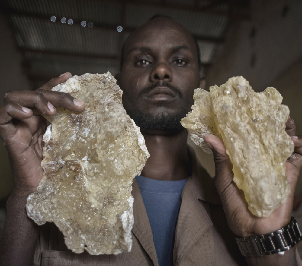 A man holds up two large tears of maydi, the large, most expensive chunks of frankincense resin, in Burao, Somaliland. It takes 40 years for new trees to become viable.