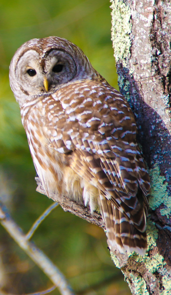 Fortune favored Jack MacDonald of Biddeford two weeks ago, when he caught sight of this barred owl on Sea Road in Kennebunk – and happened to have his camera at hand for this up-close-and-personal shot.