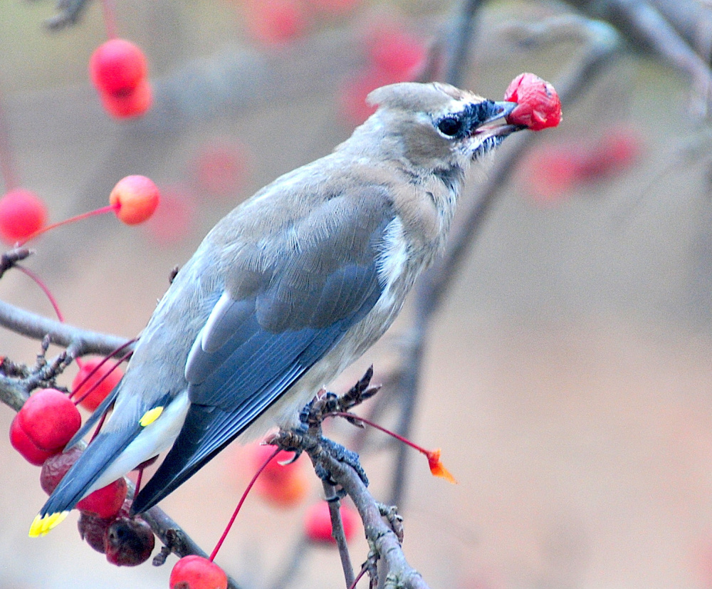 Erik Bartlett of South Casco captured an image of this visitor enjoying the desiccated crab apples in the yard of his sister's home in West Bowdoin.