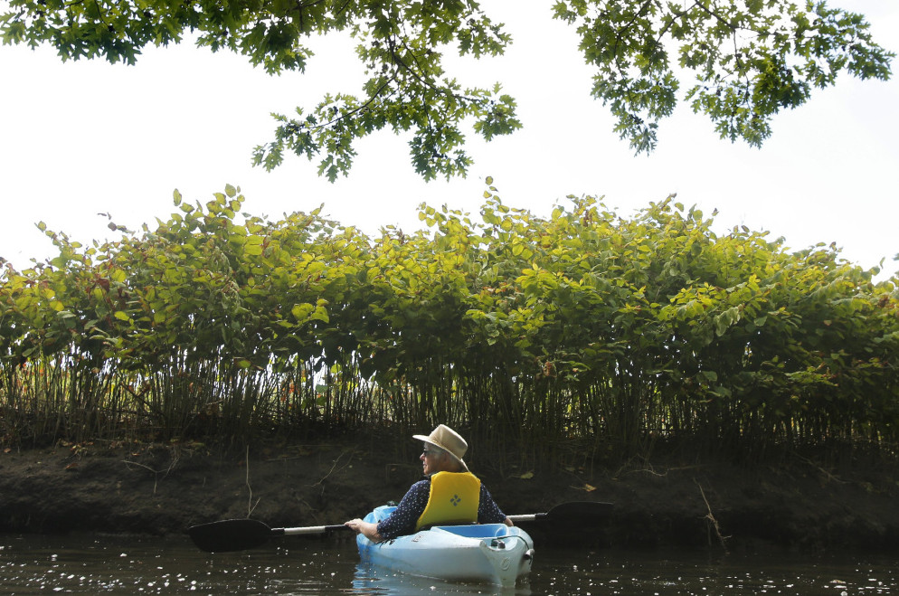Nancye Tuttle of Wells drifts along the Merriland River underneath towering Japanese knotweed at the Wells National Estuarine Research Reserve on Aug. 8. The knotweed is an invasive plant that chokes out native species.