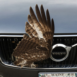 A red-tailed hawk's wing pokes out of the front grille of Noah and Chelsea Holden Baker DeLorme's Volvo on Nov. 26. With help from state game wardens, the bird eventually escaped unscathed. Courtesy of Chelsea Holden Baker DeLorme.