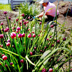 Crop rotation can be applied in raised beds as small as 4-by-8 feet in size. Here, Anne Manganello of Portland works on one of her raised beds at the North Street Community Garden in May 2014. In the foreground, chives are flowering.