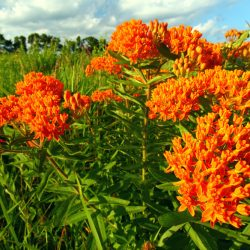 Butterfly weed, or Asclepias tuberosa, is the Perennial Plant Association's Plant of the Year for 2017.