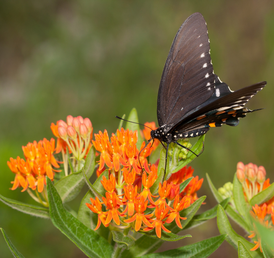 A spicebush swallowtail butterfly feeds on Asclepias tuberosa, a favorite of bees and hummingbirds too..