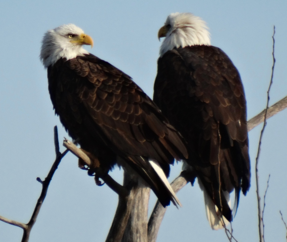 Colleen Bovaird-Liberty was tipped off about these bald eagles by her husband, who spotted them during a drive to Wells Harbor and rushed home to get his wife and her camera.