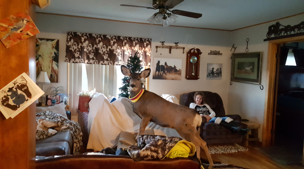 Faline, a mule deer, wears a homemade collars while visiting the Mcgaughey residence in Ulysses, Kansas, where she often dropped in before returning to wander freely outside – a cross between a wild animal and a family pet.