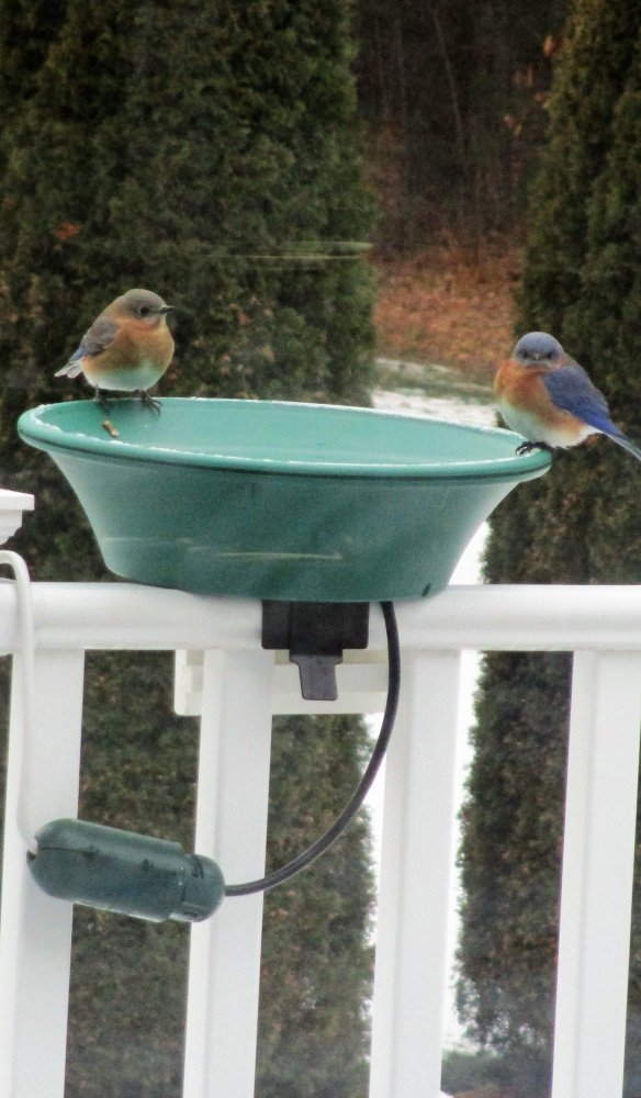 I took this picture of a pair of bluebirds at our recently installed heated birdbath that sits on our deck railing.  Although the temperature was 9F, it didn't concern this pair.  The birds really appreciate the water, either to drink or to splash the water on their feathers.   Barbara Dunn   Saco