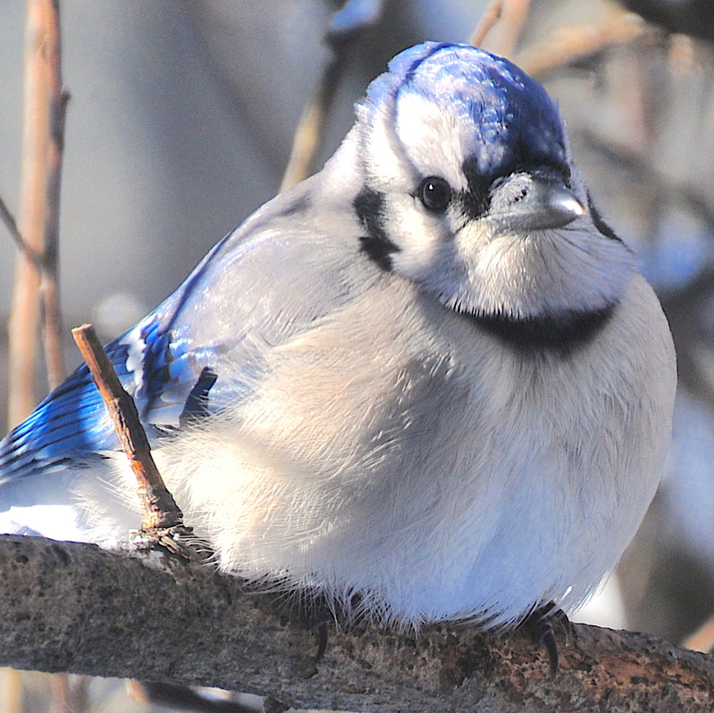 Earlier today ( ), I watched this bluejay fluff up its feathers after alighting on the branch in order to force air underneath for some good dead air insulation.  Taken at my home in South Casco.   Erik Bartlett