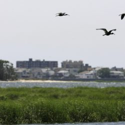 Three glossy ibis fly over the marshes of Jamaica Bay in New York. Eight years after the miracle landing of a plane on the Hudson River, thousands of birds have been killed at New York City airports to avoid more strikes.