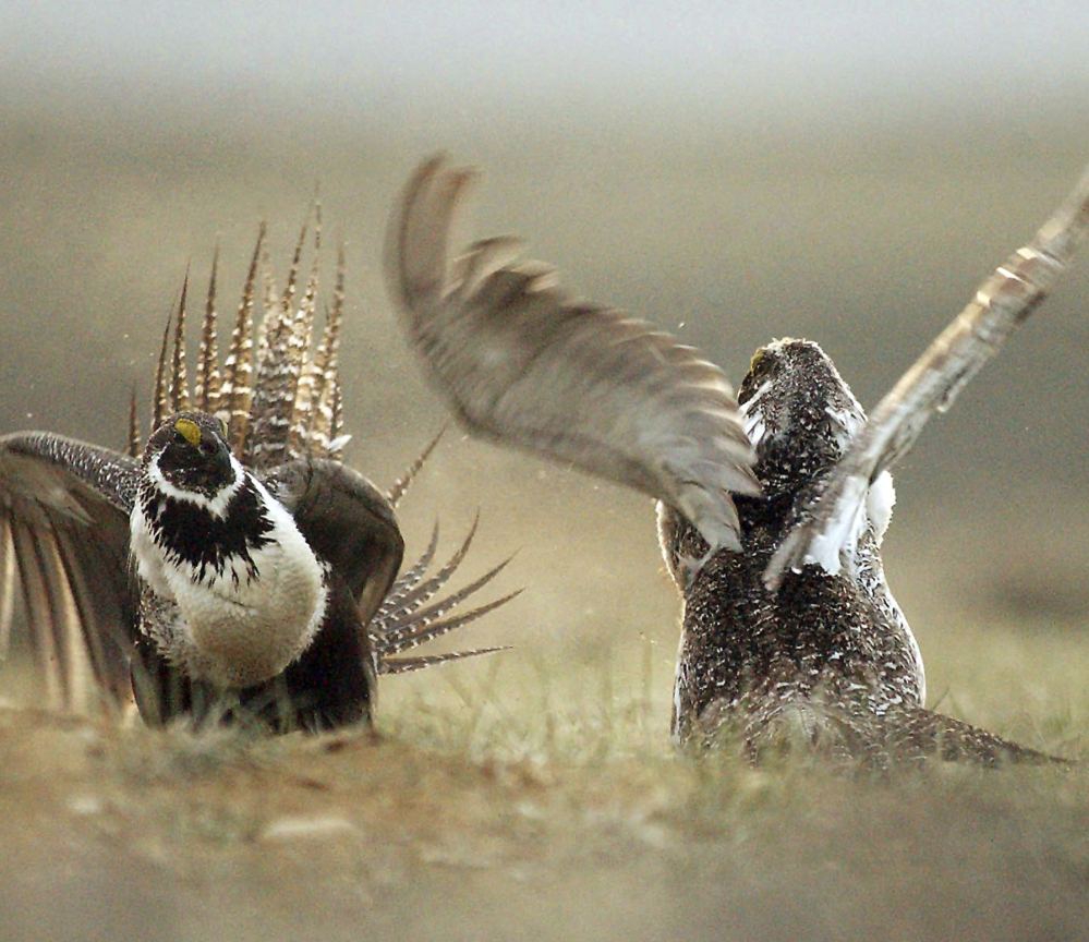The sage grouse, left photo, and Mexican gray wolf, right photo. are among species that are protected by the Endangered Species Act. More than 1,600 plants and animals in the U.S. are presently shielded by the act, which Congress approved in 1973..