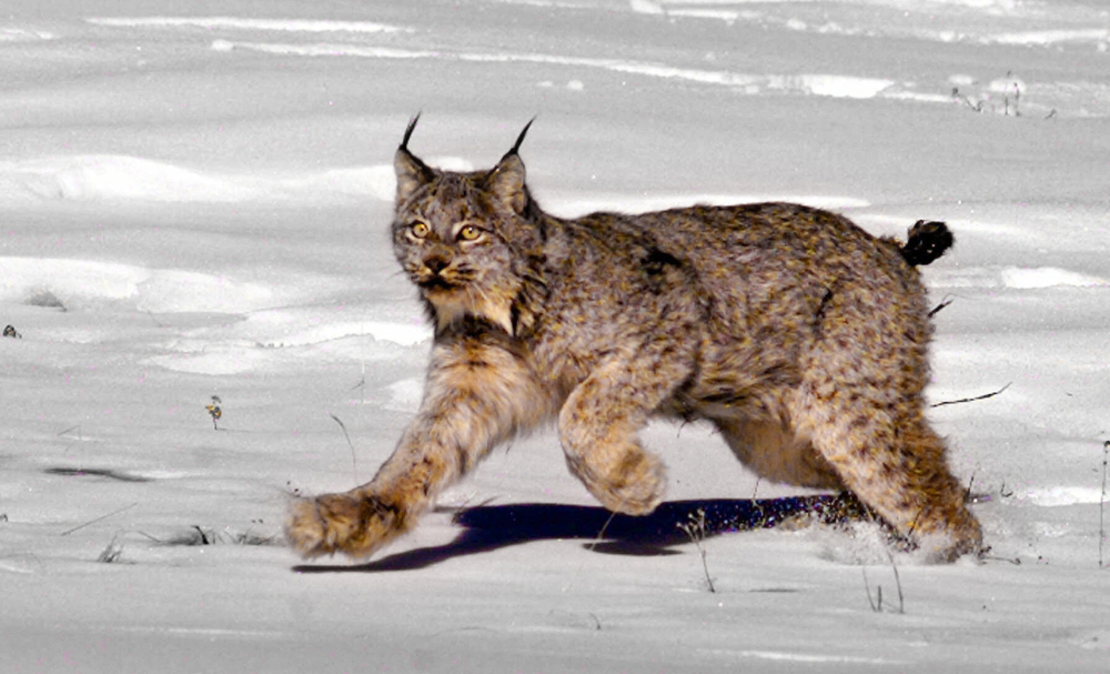 The Canada lynx has drawn the ire of some because protecting it by means of the Endangered Species Act has halted logging projects.