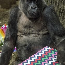 Colo opens a present at her 60th birthday party last month at the Columbus Zoo and Aquarium in Ohio.