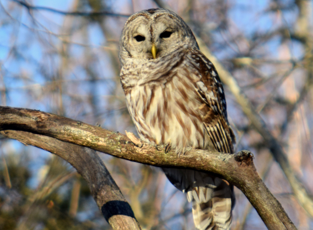 While many of us were thankful for the warmer-than-usual weather this past week, this barred owl, spotted in Georgetown by Jill Ventry, also seemed to appreciate a sunny January day.