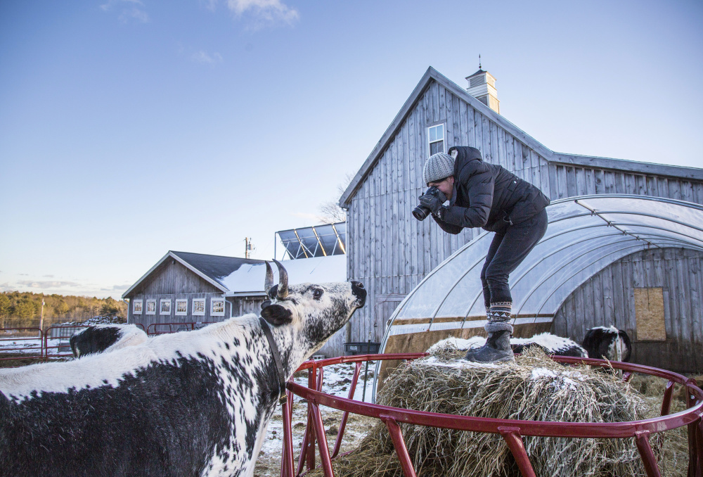 Catherine Frost photographs a Randall cow at Winter Hill Farm in Freeport.