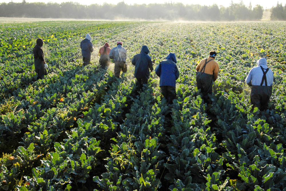 Farmworkers, mostly from Mexico and El Salvador, cut broccoli stalks at Smith's Farm in 2006 near Fort Fairfield in Aroostook County. Emily Smith, the farm's president, says the 200 foreign-born workers she relies on for her harvests