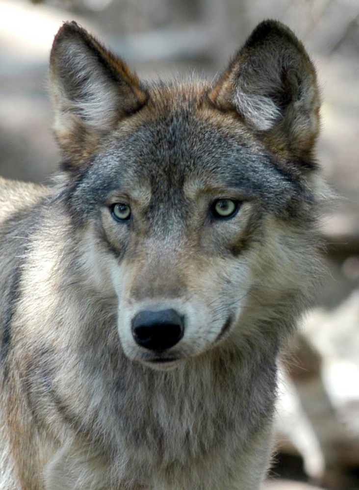 An appeals court ruled against protections for gray wolves in Wyoming on Friday.