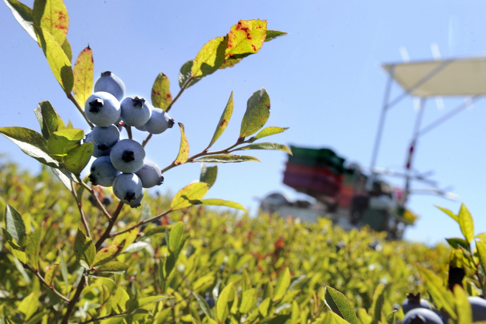 Maine's wild blueberry industry has been looking to schools to boost sales amid recent years of surplus crop.