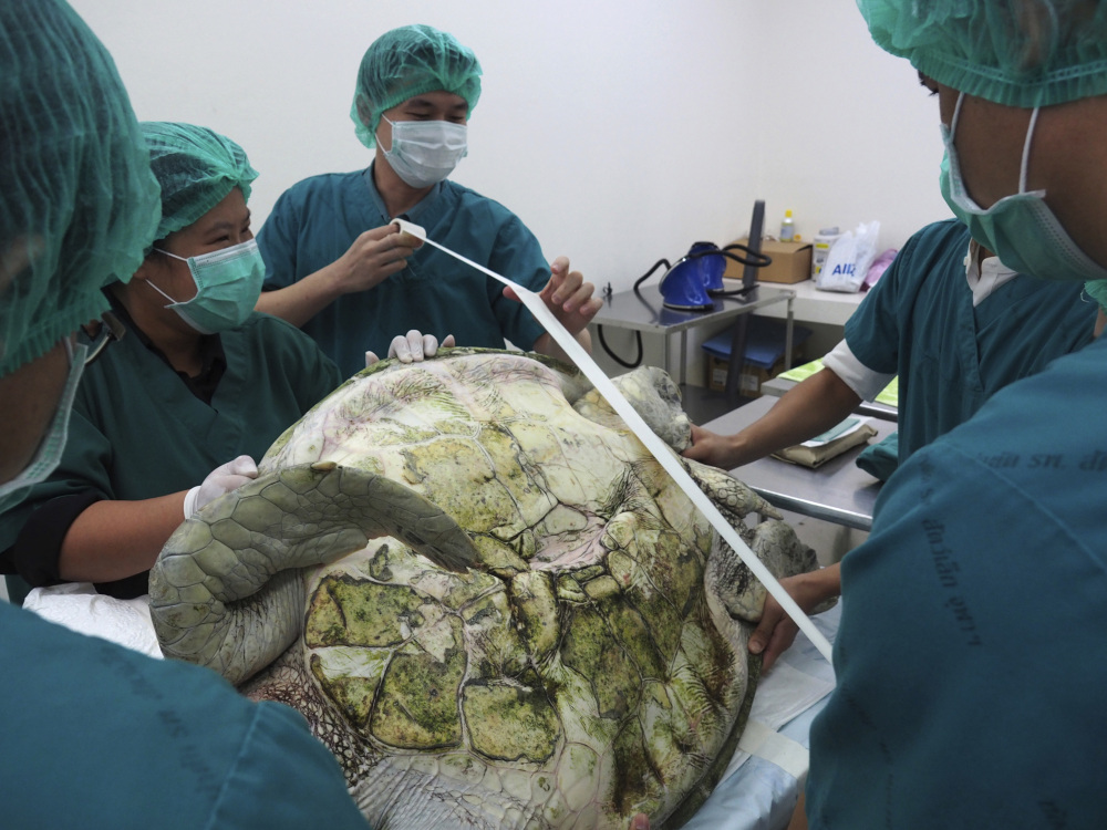 Veterinarians prepare to operate on the female green turtle named after a piggy bank.