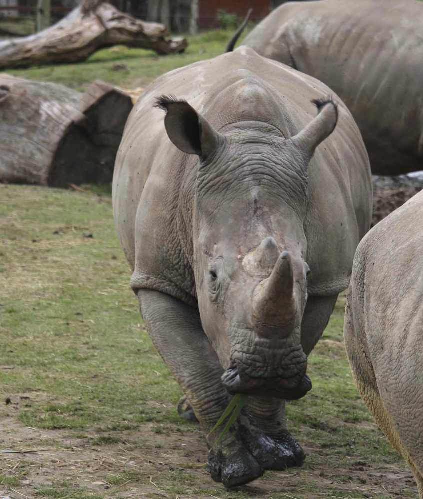 Poachers killed Vince, a young rhinoceros in a French zoo, for his ivory horn.