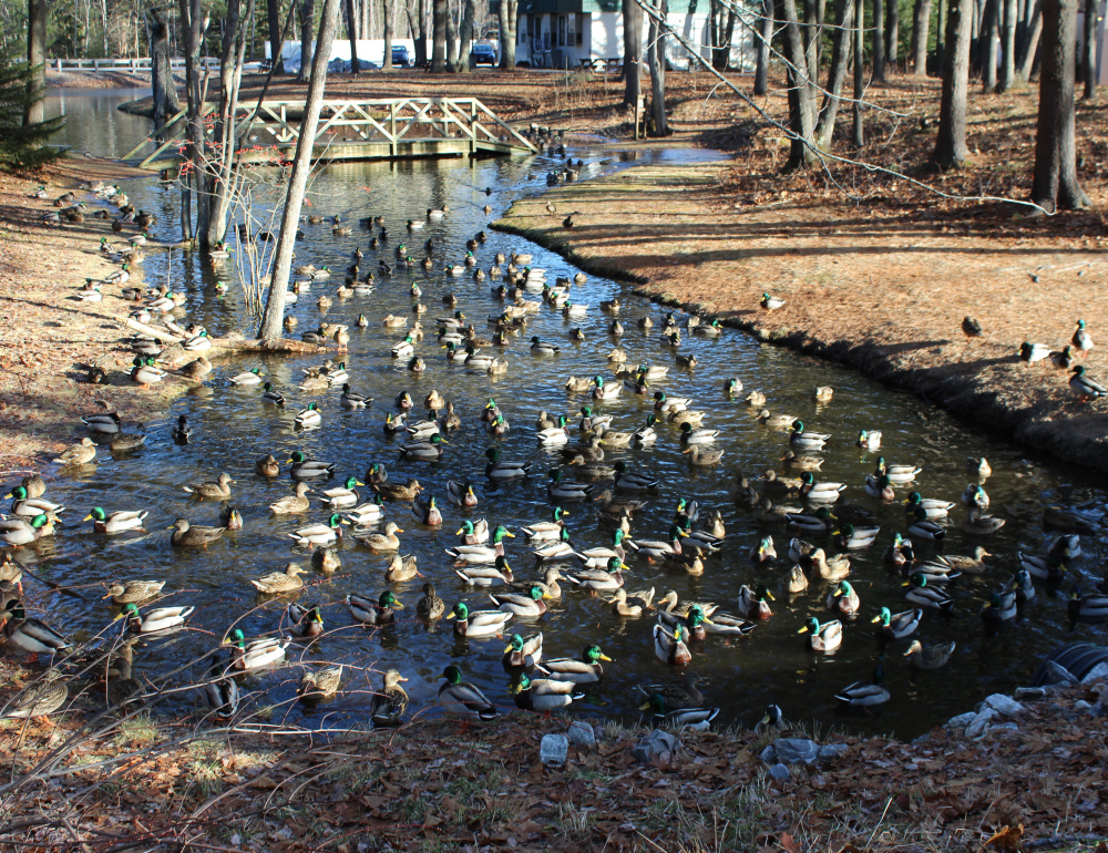 When Peter Frati of Brunswick stopped by Parkview Brook in Brunswick, he found more ducks that you can shake a stick at.