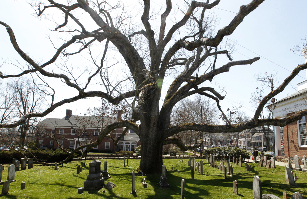 The 600-year-old white oak tree at the Basking Ridge Presbyterian Church in Basking Ridge, N.J., has been present through many episodes of American history.