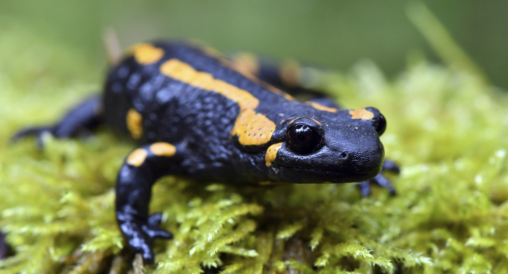 Biologists say tiny creatures like this fire salamander play a key role in the food chain. Martin Schutt/dpa via AP
