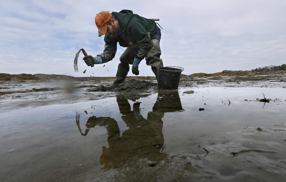 Dan Harrington digs for marine worms in Freeport using rakes with tines of various lengths and widths, depending on the mud's firmness.
