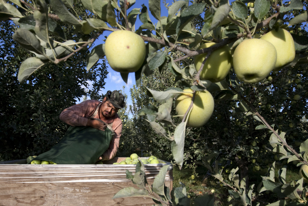 Sergio Garcia empties a bag of Golden Delicious apples into a bin at an orchard near Wapato, Wash., in this file photo from fall 2013. Orchards that depend on immigrant laborers are exploring mechanized harvesting alternatives.