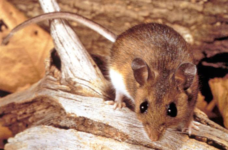 Deer mice, found almost everywhere in North America, are carriers of hantavirus, which causes a rare but potentially fatal syndrome.