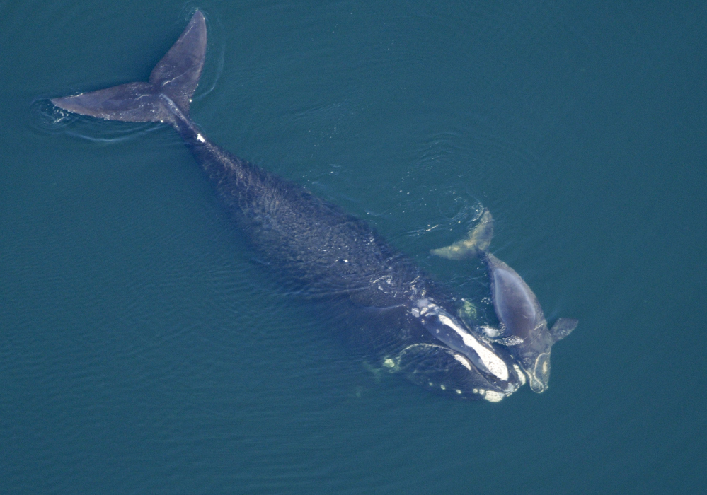Gray whale mom defends her calf against killer whales