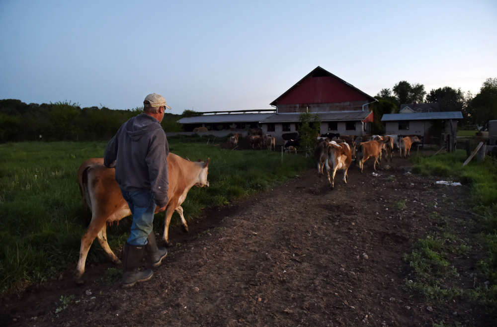 Bobby Prigel, owner of Prigel Family Creamery, leads cows to a barn in Glen Arm, Md. Organic dairies are required to allow cows to graze daily in the growing season, which Prigel does religiously but some large dairies may not.