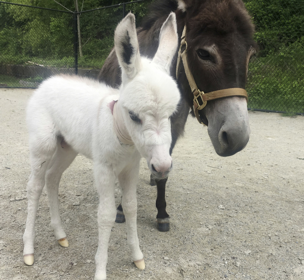 Photo provided by the Pennsylvania Society for the Prevention of Cruelty to Animals shows Sadie, right, a miniature donkey, with her foal.