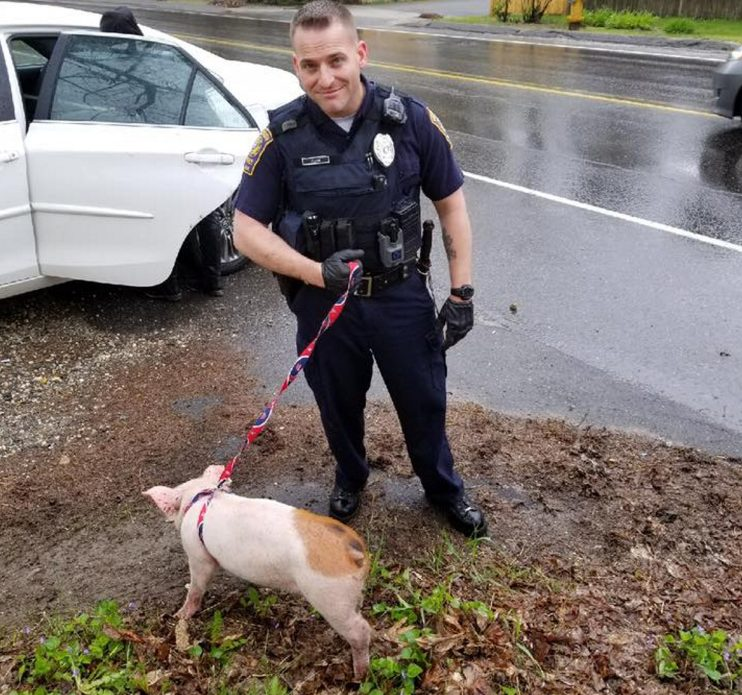 Falmouth police Officer Kurt Fegan restrains a pig caught wandering a neighborhood.