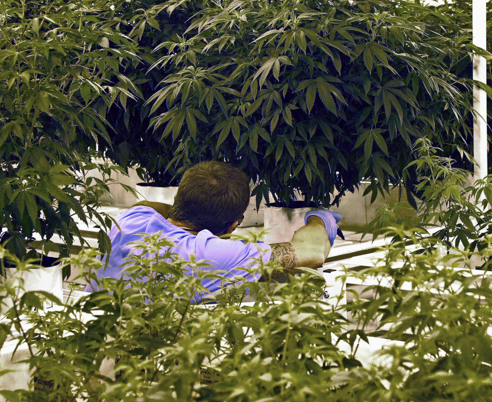 An employee checks a plant at LeafLine Labs in Cottage Grove, Minn., in June 2015, shortly before medical marijuana sales became legal. Minnesota has one of the nation's strictest programs, which may be why pot sellers are posting large losses.