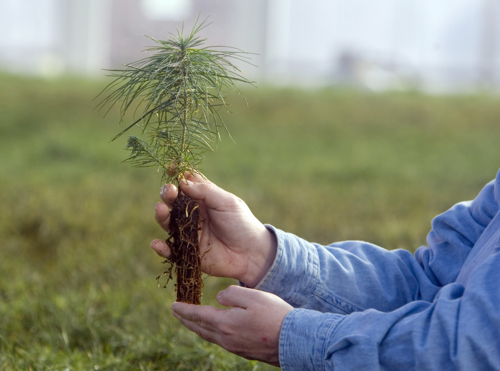 An eastern white pine seedling is held in Nebraska City, Neb. A northward shift was anticipated but the westward move of trees from the east surprised some scientists.