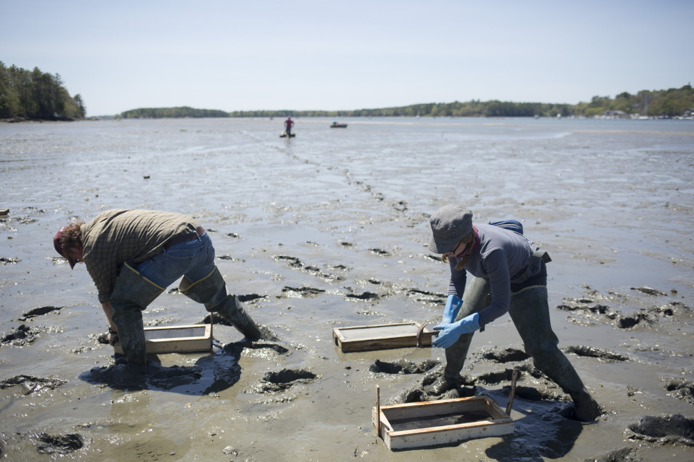 Brian Beal, director of research at the Downeast Institute, and Sara Randall, a field science coordinator, set out what they call recruitment boxes on the mudflats of the Harraseeket River in Freeport. The experimental boxes catch settling clams and protect them as they grow.