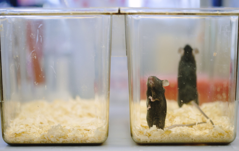 A large Maine Technology Institute grant to The Jackson Laboratory helped set up a mouse-breeding lab in Ellsworth that could create 365 new jobs. This 2014 photo shows mice for research on ALS disease in the firm's Bar Harbor lab.