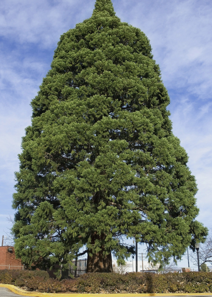 This sequoia in Boise, Idaho, will be moved so a hospital may expand.