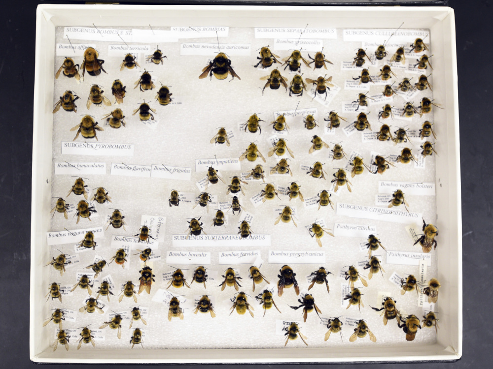Worcester Polytecnhic Insitute assistant professor Robert Gegear's collection shows many variations among bees.