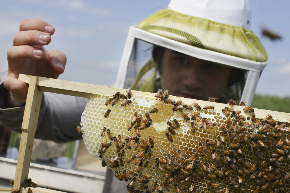 Volunteer Ben Merritt checks honeybee hives for queen activity and performs routine maintenance as part of a collaboration between the Cincinnati Zoo and TwoHoneys Bee Co., in Mason, Ohio, in 2015. For more than a decade, the populations of honey bees and other key pollinators have been on the decline.