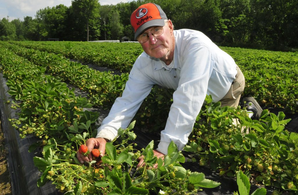 Farmer David Pike shows strawberries growing at his Pike Strawberry Farm in Farmington on Tuesday. Strawberry farmers expect a good yield this year, despite a delayed season. The harsh winter helped to insulate crops and provided plenty of moisture. In contrast, last year's spring started out very dry.