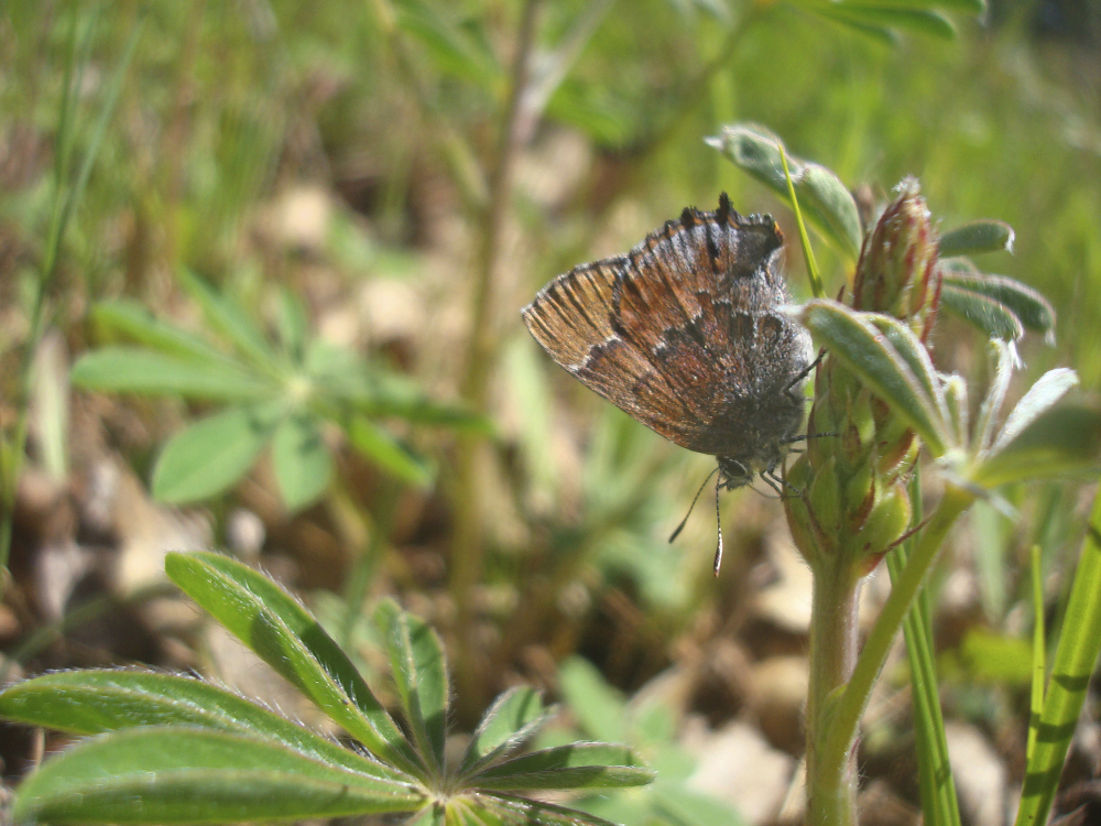 A frosted elfin butterfly clings to a plant at the Fort McCoy Army Installation in Wisconsin. A count last spring found the highest number of the butterflies since the survey began.
