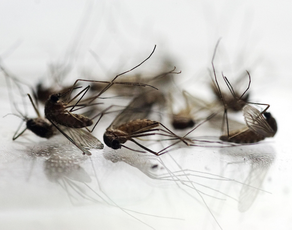 Mosquitoes collected by Chris Horton of the Berkshire County Mosquito Control Project are displayed in Pittsfield, Mass.