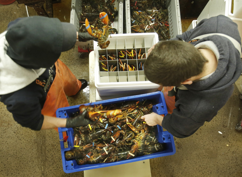This photo from Dec. 9, 2014, shows employees at The Lobster Co. in Arundel – Cory Agayoff, left, and David Jackson – packing live lobsters into a foam container to be exported to China.