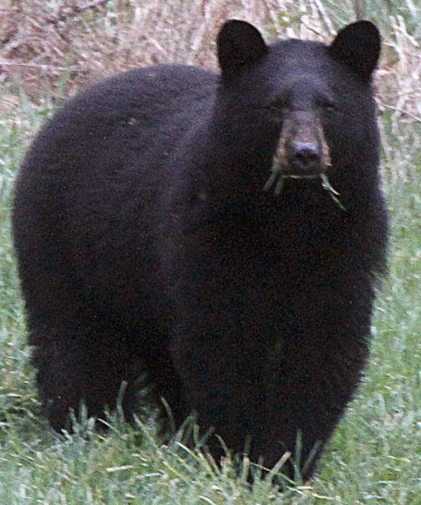 A black bear grazes in a field in Calais, Vt. A black bear attacked a 19-year-old staffer at a Colorado camp as he slept early Sunday.