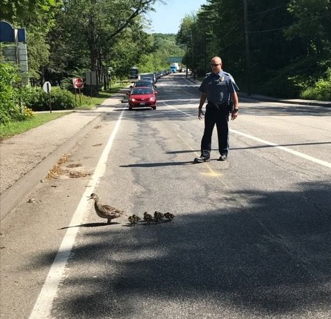 An officer assists with Thursday's duck walk in Brunswick, as drivers stop.