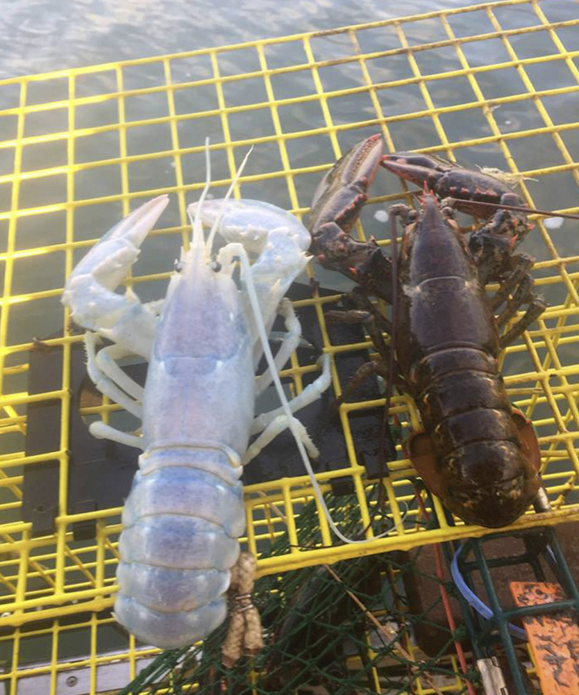 A lobster caught by Alex Todd of Chebeague Island probably has a genetic condition called leucism, which is a partial loss of pigment. This is why some hints of blue on the shell and color on the eyes are visible, a post by the Maine Coast Fisherman's Association says.
